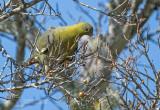 Madagaskarpapegaaiduif - Madagascar Green-Pigeon - Treron australis australis