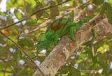 Parsons kameleon - Parson's chameleon - Calumma parsonii