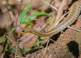 Yellow-striped Watersnake - Thamnosophis stumpffi