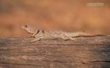 Madagaskar-halsbandleguaan - Cuviers Madagascar Swift - Oplurus cuvieri