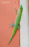 Koch's giant day gecko - Phelsuma kochi