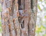 Milne-Edwards wezelmaki - Milne-Edwards' sportive lemur - Lepilemur edwardsi
