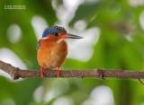 Zwartsnavelijsvogel - Madagascar Kingfisher - Corythornis vintsioides vintsioides