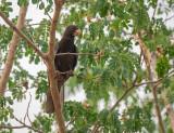 Grote Vasapapegaai - Greater Vasa Parrot - Coracopsis vasa drouhardi