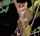 Goudbruine muismaki - Golden-brown mouse lemur - Microcebus ravelobensis