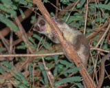 Undescribed Species Fat-Tailed Dwarf Lemur - Cheirogaleus Medius Nova