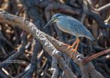 Mangrovereiger - Straited heron - Butorides striata rutenbergi