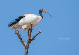 Madagaskaribis - Madagascar Ibis - Threskiornis bernieri bernieri