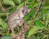 Dwergmuismaki - Grey Mouse Lemur - Microcebus Murinus