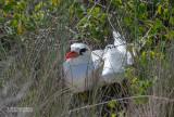 Roodstaartkeerkringvogel - Red-tailed Tropicbird - Phaethon rubricauda rubricauda