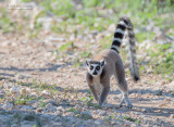 Ringstaartmaki - Ring-tailed lemur - Lemur catta