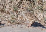 Hovaleeuwerik - Madagascar Lark - Eremopterix hova