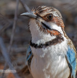 Langstaartgrondscharrelaar - Long-tailed Ground-Roller - Uratelornis chimaera