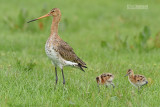 Grutto - Blacktailed Godwit - Limosa limosa