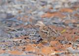 Madagaskarvechtkwartel - Madagascar Buttonquail - Turnix nigricollis