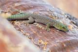 Standings dag Gecko - Standing's day Gecko - Phelsuma standingi