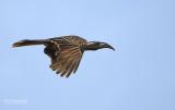 Grijze tok - African grey hornbill - Tockus nasutus