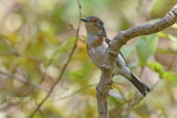 Bruinkeellelvliegenvanger - Common Wattle-eye - Platysteira cyanea