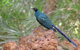 Groene langstaart glansspreeuw - longtailed glossy starling - Lamprotornis caudatus