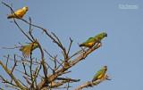 Bonte boertje - Senegal parrot - Poisephalus senegalus