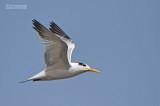Koningsstern - Royal Tern - Sterna maxima
