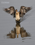 Afrikaanse dwergaalscholver - Long-tailed Cormorant - Microcarbo africanus
