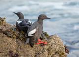 Duifzeekoet - Pigeon Guillemot - Cepphus columba