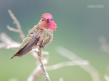 Anna's Kolibrie - Anna's Hummingbird - Calypte anna