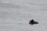 Brilzee-eend - Surf Scoter - Melanitta perspicillata