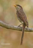 Geelsnavelklauwier - Yellow-billedshrike - Corvinella corvina