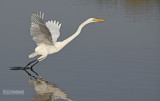 Grote zilverreiger - Great egret - Egretta alba