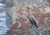 Pelagische Aalscholver - Pelagic Cormorant - Phalacrocorax pelagicus