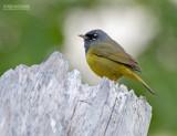 Rouwkopzanger - MacGillivray's Warbler - Geothlypis tolmiei