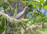 Bandstaartduif - Band-tailed Pigeon - Patagioenas fasciata