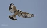 Bonte ijsvogel - Pied Kingfisher - Ceryle rudis
