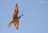 Groene bijeneter - Blue-cheeked bee-eater - Merops persicus