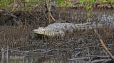 West African crocodile - Crocodylus suchus