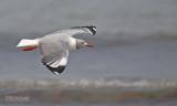 Grijskopmeeuw - Gray-headed gull - Larus cirrocephalus