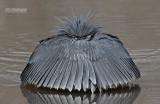Zwarte Reiger -  Black Heron -  Egretta ardesiaca