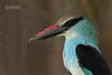 Teugelijsvogel - Blue-breasted kingfisher - Halcyon malimbica