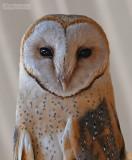 Kerkuil - Barn owl - Tyto alba