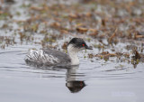 Zilverfuut - Silvery grebe - Podiceps occipitalis juninensis