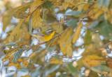 Ornaatzanger - Crescent-chested warbler - Oreothlypis superciliosa sodalis