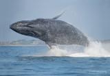 Bultrug - Humpback whale - Megaptera novaeangliae