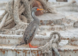 Roodpootaalscholver - Red-legged Cormorant - Phalacrocorax gaimardi