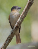 Roodkeelbekarde  - Rose-throated Becard - Pachyramphus aglaiae yucatanensis