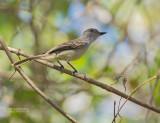 Yucatántiran - Yucatan Flycatcher - Myiarchus yucatanensis yucatanensis