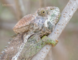 Wrattenkameleon - Warty chameleon - Furcifer verrucosus