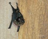 Tweestrepige zakvleermuis - Greater White-lined Bat - Saccopteryx bilineata