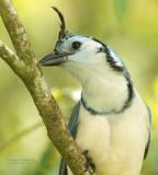 Ekstergaai - White-throated Magpie-Jay - Cyanocorax formosus